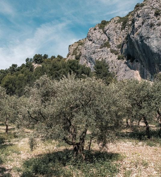 Olivier dans les gorges du Régalon - Luberon