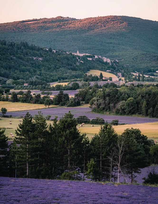 Champs de lavande au plateau de Sault