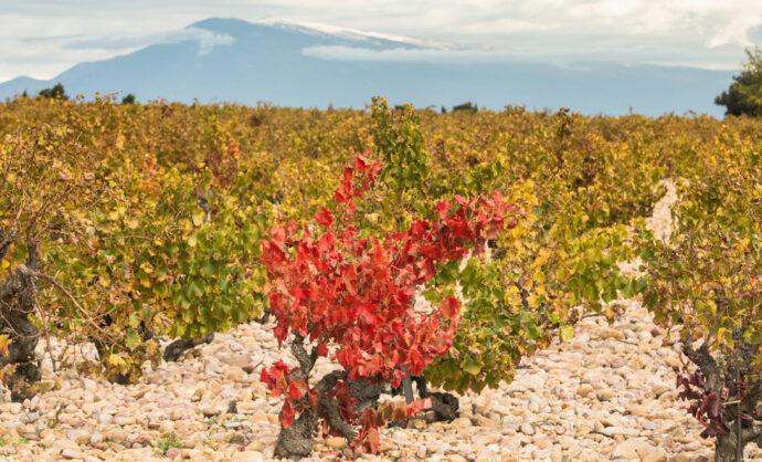 Vignes en Vallée du Rhône